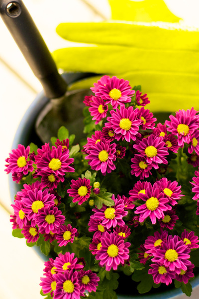 Small purple mums with yellow centers are in a pot with a hand trowel and gardening gloves nearby.
