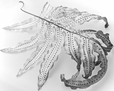 Black and white image of a drying fern leaf on a featureless white background.