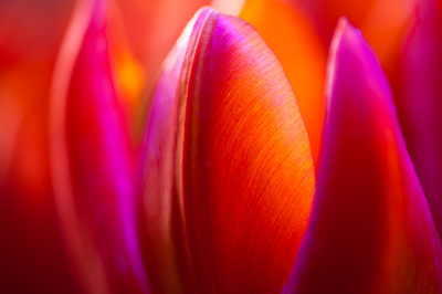 Close-up of several tulips in orange and purple.