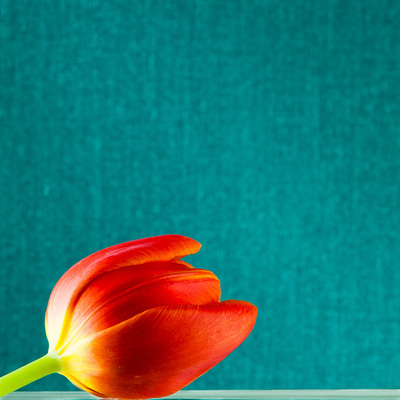An orange tulip laying on a table in front of an aqua background.