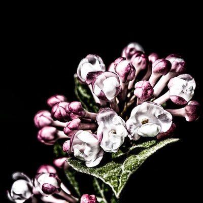 Close-up of viburnum flower cluster in pink, white, and magenta on a black background.
