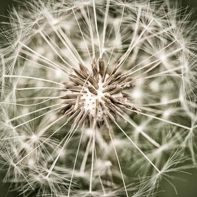 Close-up of a ready-to-fly dandelion.