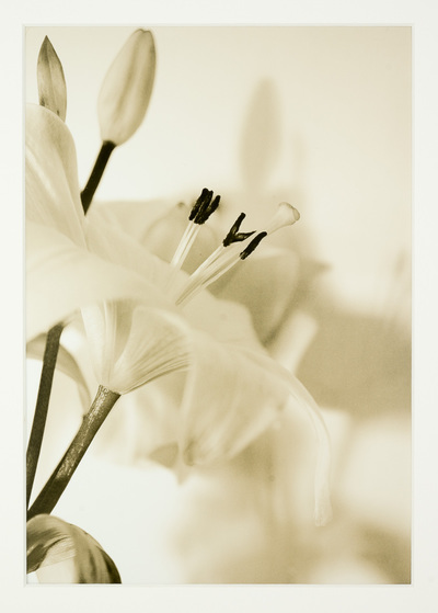 Close up of a lily with its stamens exposed. It throws a shadow on the wall behind. Overall the image is soft beige.