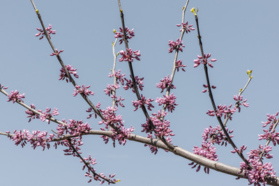 A branch of pink blossoms in front of a pale blue sky