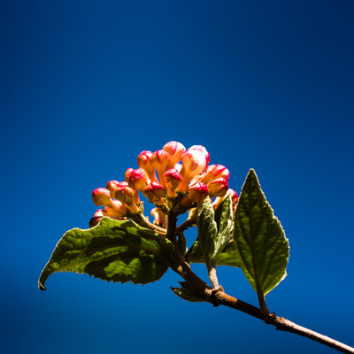 A branch with a cluster of pink viburnum flowers at the end of it. The flowers are not open. The sky is dark blue.