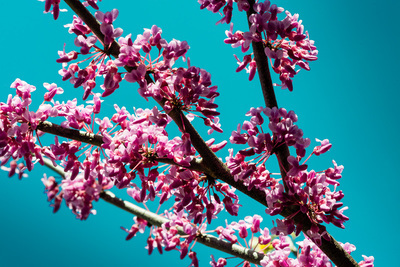 A branch of dense magenta blossoms in front of a vivid aqua sky