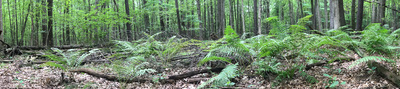 A horizontally-long very green image of a forest bed with lots of ferns.